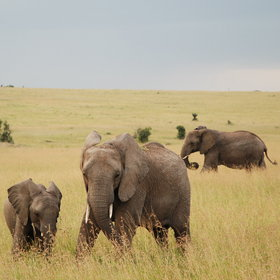Between 1000 and 2000 elephants move around the greater Mara region…