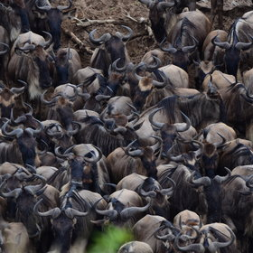 The Maasai Mara's most iconic attraction is of course the wildebeest migration…