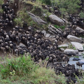 …one of the famous river crossings. Nerves – and pressure of numbers – trigger the herds…