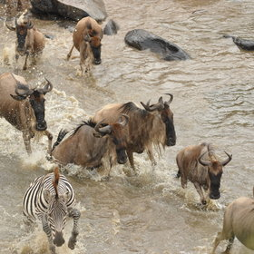…(which often include zebra), to stream across the Mara river…