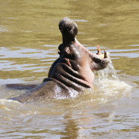 The Mara River's hippos tend to stay well away from these chaotic crossings.