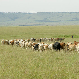 …herding their cattle on the fringes of the reserve – and sometimes into it…