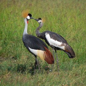 …as this pair of canoodling crowned cranes…