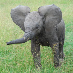 …or as cute as this young elephant practising his threat performance.