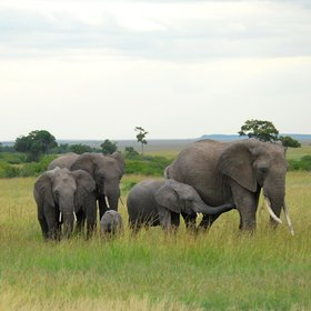 As in all the conservancies, Olare Motorogi offers lots of close-up time with elephants.