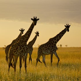 …and wildife everywhere, including these giraffes heading for their evening browse.