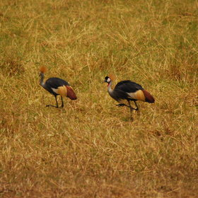 It is an ideal area for many different birds like crowned cranes pictured here…