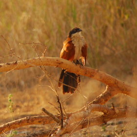… the Burchell's coucal…