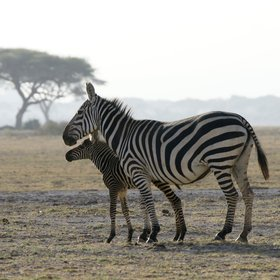 Early in the year, before the rains break, thousands of zebra foals are born ...
