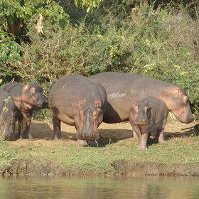 … as well as hippos…