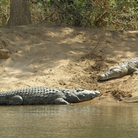 Whilst crocodiles wait on the shore of small islands for their next meal.
