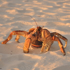 At night you might even spot the rare coconut crab…