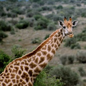 ...including species such as giraffe,...