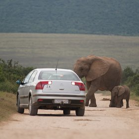 Today most of the elephants are fairly relaxed about vehicles…
