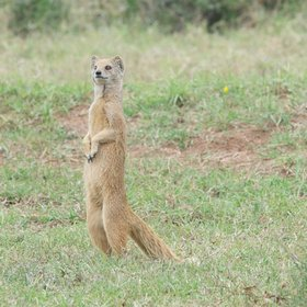 ...meerkats & yellow mongooses, which often stand to look around…