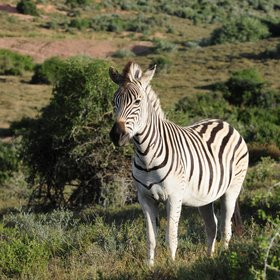 ...and Burchell's zebra.