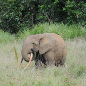 Though there is a small amount of big game here, like the forest elephant...