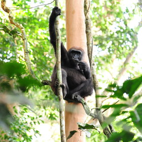 ... is seeking out the Western lowland gorillas.