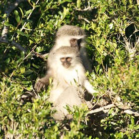 …we also had the chance to watch some amusing velvet monkeys in the morning sun…