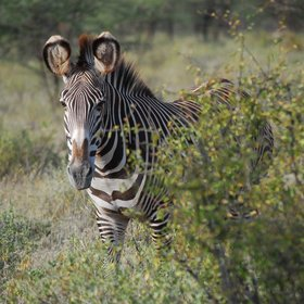 Samburu is also home to the Grevy's zebra…