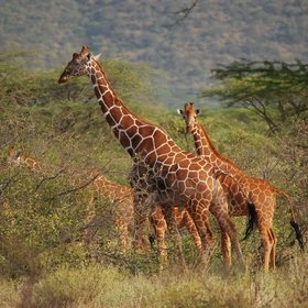 … reticulated giraffe…