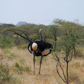 …and blue-skinned Somali Ostrich…