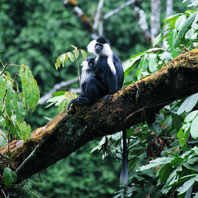 Visit Nyungwe Forest National Park to encounter primates like the colobus monkey.