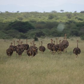 The grasslands are also home to large numbers of ostriches…