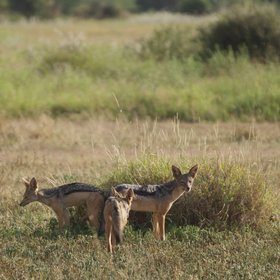 …and those opportunistic camp followers, black-backed jackals – usually seen in pairs.