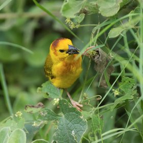 …Taveta golden weavers…