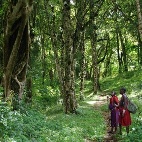 Walking in the cloud forest, with guides from Ol Donyo Lodge or Campi ya Kanzi, is easy to do.