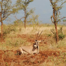 ... such as the Beisa oryx ...