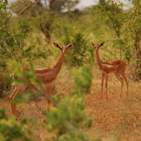 ... long-necked gerenuk gazelles ...