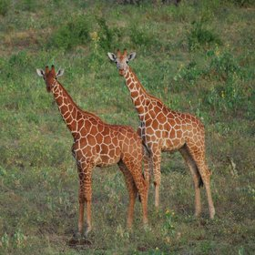 ... reticulated giraffe ...