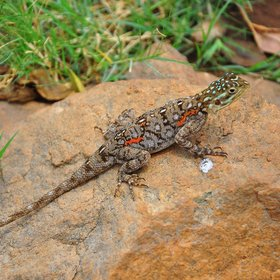 ... and the bush harbours many other interesting inhabitants, like this agama.