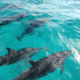 ... to find the spinner dolphins who love to ride the bow wave of boats.