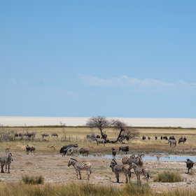 Etosha National Park is unique for its huge salt-pan and string of ancient waterholes.