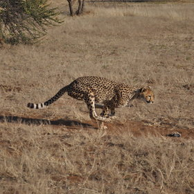 Some of the private reserves have more enigmatic species, such as rescued cheetahs at the CCF.