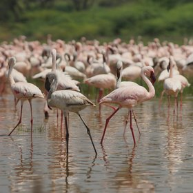 The Great Rift Valley is famous for its saline lakes (these flamingos were at Lake Bogoria)…
