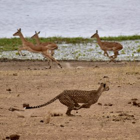 ... or possible cheetah hunting their prey.
