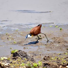 With a range of habitats, Tarangire's birdlife (here an African Jacana) is also varied ...