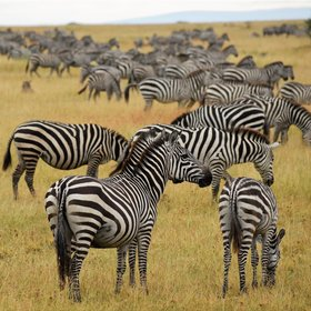...plus thousands of zebra...