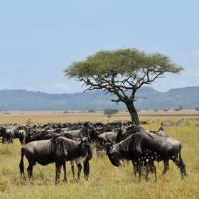 The Serengeti is home to huge numbers of animals: over a million wildebeests...