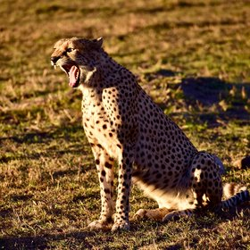 ... such as cheetahs ...