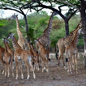 ...including larger herds of giraffes…