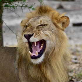 You can also find the larger predators such as lions…