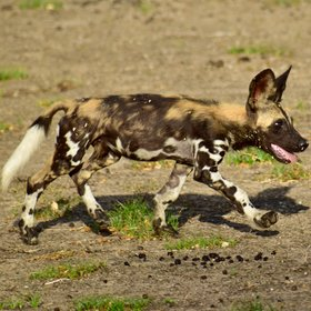 …and packs of wild dogs…