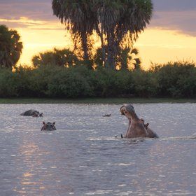 …where you can often get close to pods of hippos...