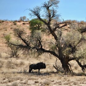 ... whilst wildebeest may seek out shade in the dry riverbed.