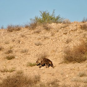 If you are lucky you may be able to spot the elusive brown hyena...
